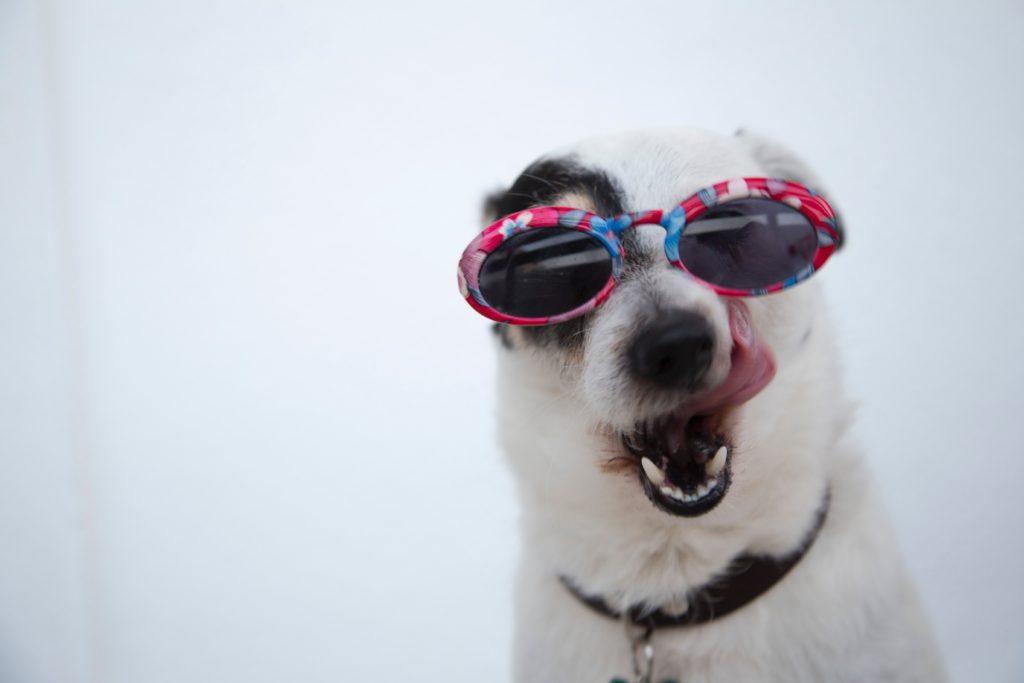 Deze hond heeft CVS, een burn-out en alle mogelijke ziektes die je je maar kan indenken. En ook een zonnebril.