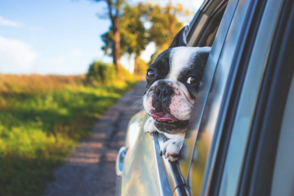 Een chronisch vermoeide hond in een auto, bijzonder zeg!