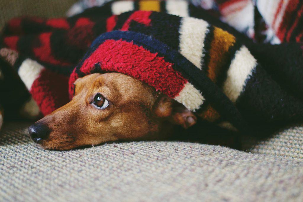 Een chronisch vermoeide hond onder een lekker zacht dekentje.